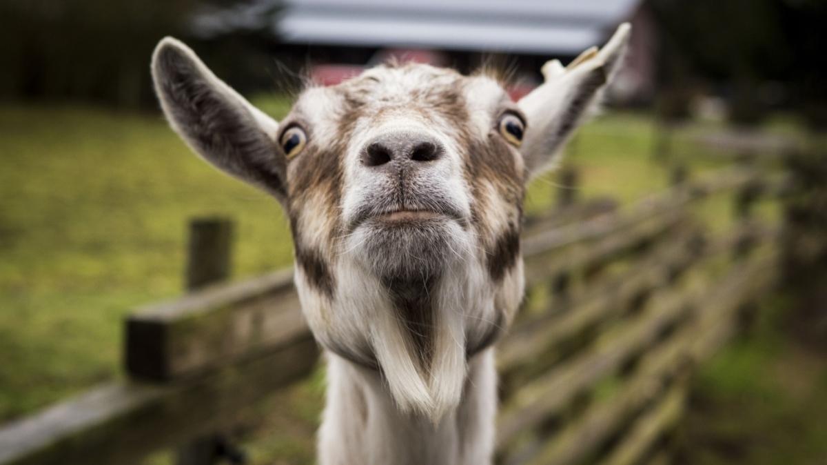 The Goat of ChristmasPast